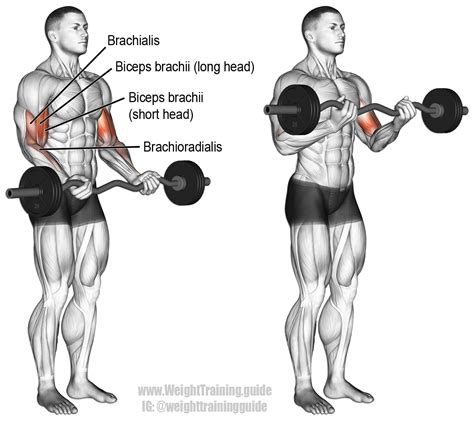 EZ bar curl exercise instructions and video   Weight
