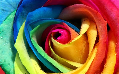 Rose Wallpapers | Best Wallpapers
