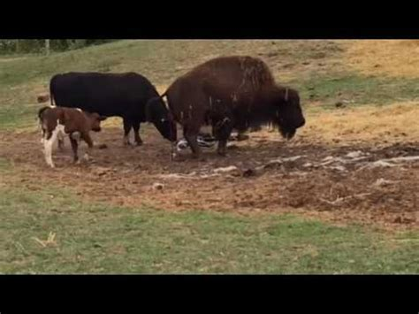 Bison giving birth with beef cow calf - YouTube