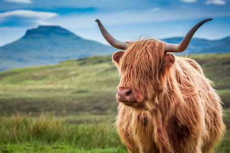 Top spots to meet Our Hairy Heilan Coos! - North Coast 500