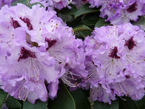 Rhododendron (The national flower of Nepal)   Rhododendron
