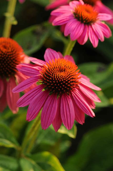 Echinacea PowWow Wild Berry   All-America Selections
